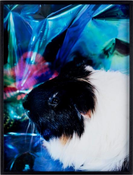Ein Bild auf dem ein Meerschweinchen zu sehen ist mit blauem Hintergrund