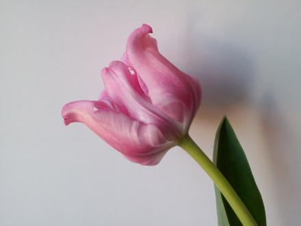 Eine rosa Tulpe mit grünem Stängel ragt von der rechten unteren Seite in die Mitte des Bildes. Der Hintergrund ist Grau